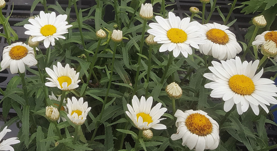 Perennials-05